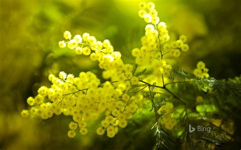 Yellow Mimosa flowers France 2018 Bing Wallpaper Preview